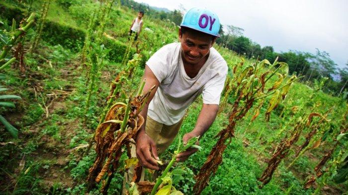 Global Pemanen Tembakau Market