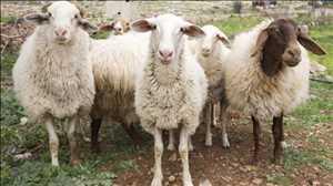Pasar Vaksin Cacar Domba dan Kambing Global